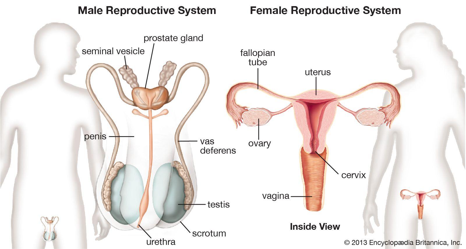ce alimente nu afectează erecția înțepat în penis