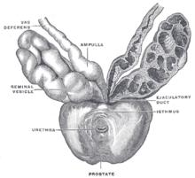 boli ale penisului și ale prostatei