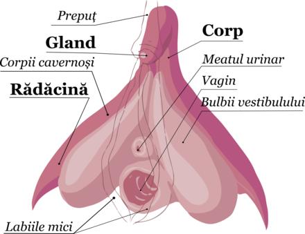 erecția organelor feminine