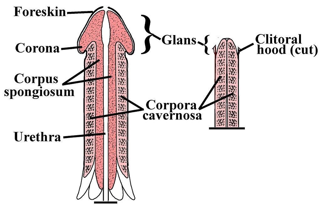 cum să- ți faci penisul gros modul în care o erecție va crește potența