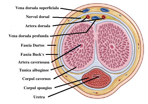 dimensiunea ideală a penisului pentru femei plăcere penis