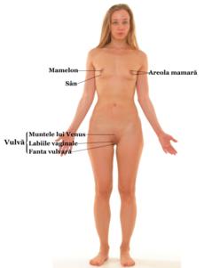 mamelon în timpul erecției modul în care este examinat penisul