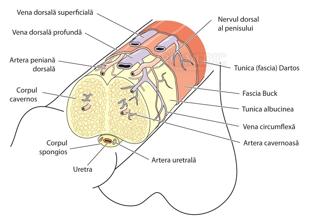 dimensiunea penisului în lungime și diametru erecție și sensibilitate pierdute