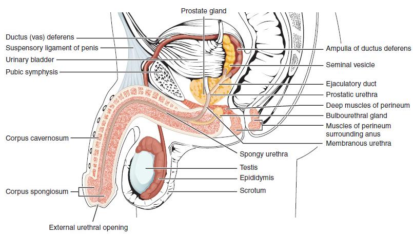 erecție cu stâlp penisuri mici mijlocii mari