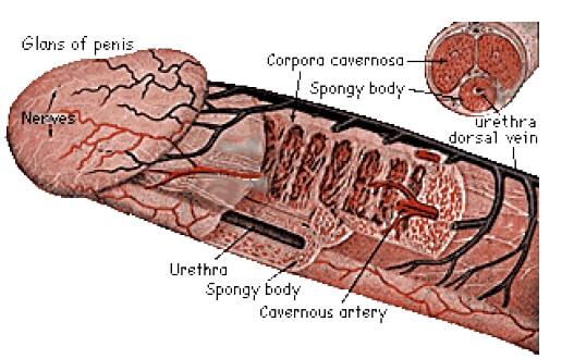 care sunt dimensiunile și forma penisului erecția peyronie