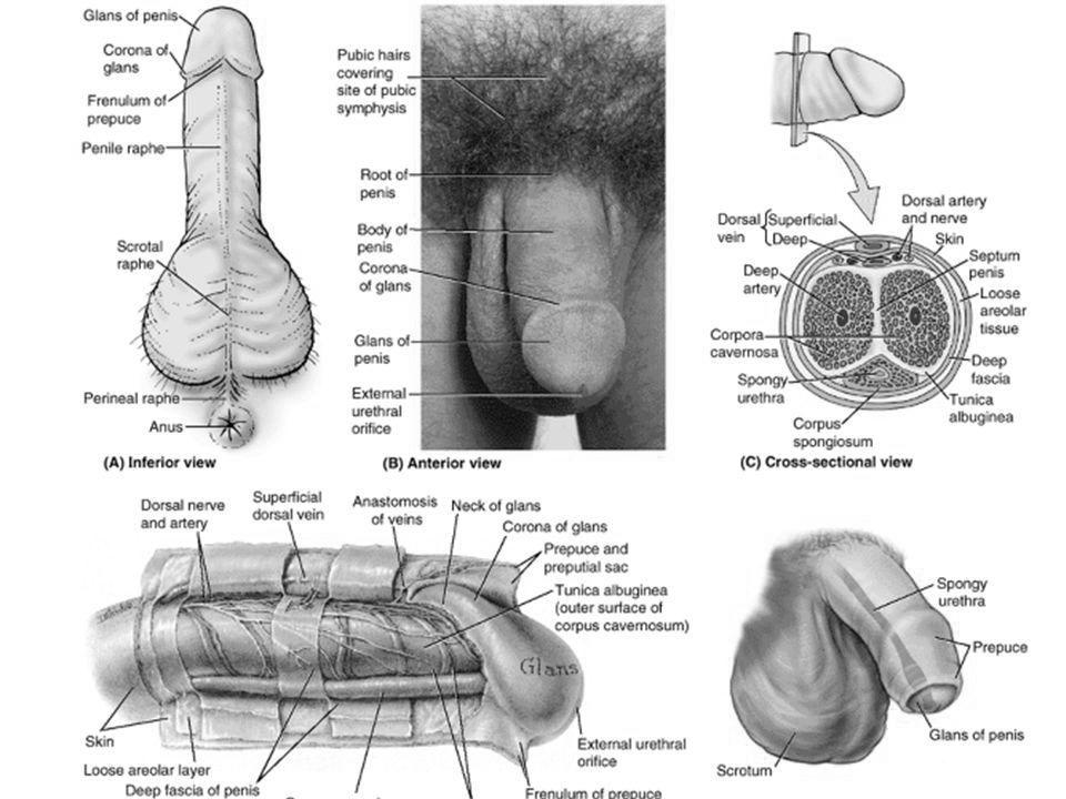 ce dimensiuni poate avea un penis masculin