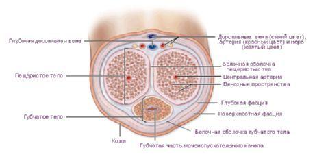 Interventie cusaturi la nivelul penisului (pe penis mai exact)