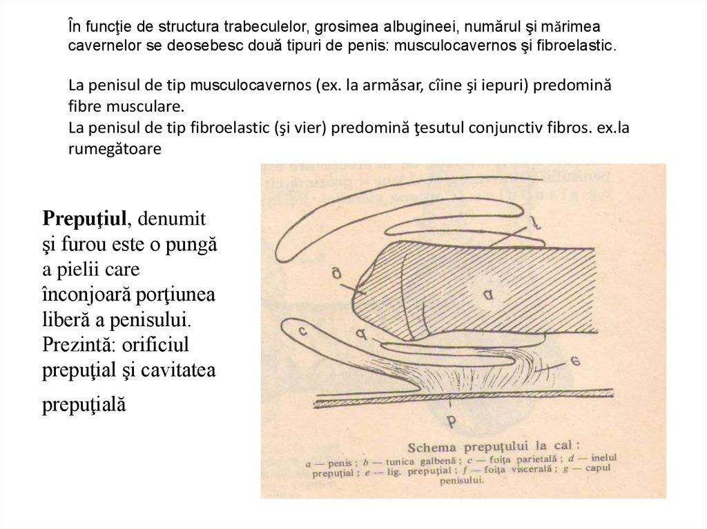 grosimea sau lungimea penisului