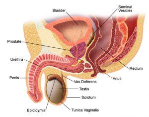 există o erecție fără prostată