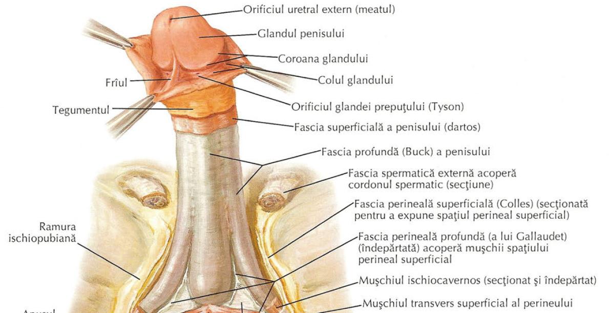 componentele penisului