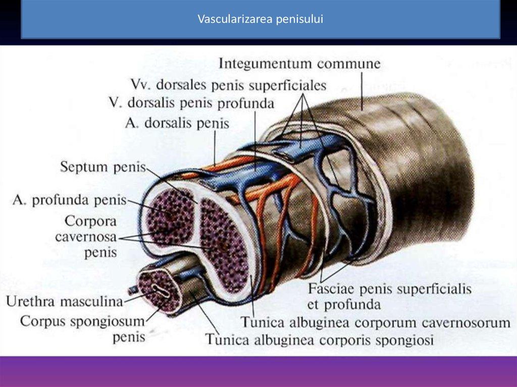 Sistemul de reproducere